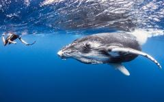 man snorkeling with whale in ocean