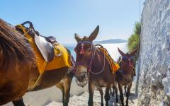 Group of donkeys walking up a step-road from Ammoudi to Oia, Greece