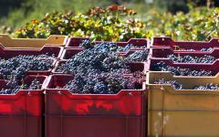 spain crates of red grapes at a vineyard
