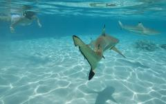 black tip shark under water
