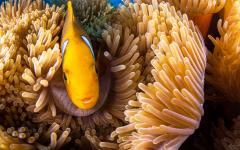yellow fish in anemone