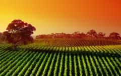 Vineyard landscape, Adelaide.