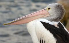 Pelican on kangaroo island.