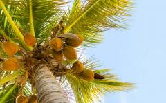 close up of coconuts on a palm tree