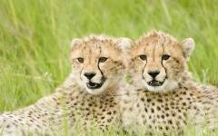 Two young cheetahs lying next to each other and gazing attentively in the same direction | Maasai Mara National Reserve, Kenya