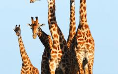 Family of giraffes huddled together and standing tall in Kenya, Africa
