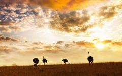 Silhouettes of 4 ostriches with the Kenya, Africa sunset behind them