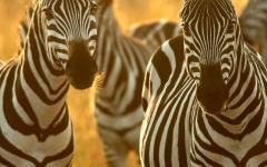 Close up of two African zebra in Maasai Mara National Reserve, Kenya, Africa