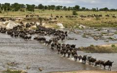 Massive herd of wildebeest trudging through a shallow spot in the Mara River | Kenya, Africa