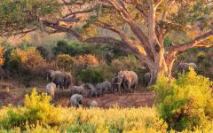 Herd of South African elephants resting in the shade of a big tree