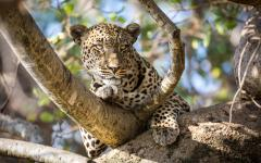 A beautiful African leopard lying down in a tree in Serengeti National Park, Tanzania, Africa