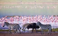 A wildebeest walking among a group of zebra on the edge of a waterhole with flock of flamingos standing in the background