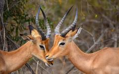 A couple of impalas embracing each other's company in Kruger National Park, South Africa