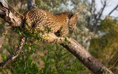 Leopard cub perched on a branch in the Sabi Sand Game Reserve in South Africa