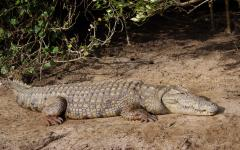 South African crocodile laying low in the dirt