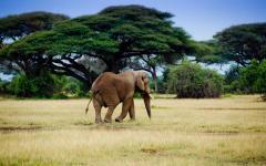 Lone African elephant walking through the Amboseli National Park grasslands | Kenya, Africa