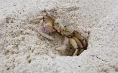A sand crab peering outside of its sand hole | Diani Beach, Kenya