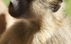 Close up of a Kenyan baboon