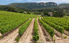 A vineyard near Cassis.