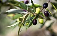 Black and green olives on a branch.