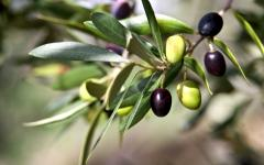 Green and black olives on a branch.