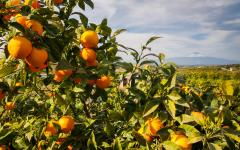 Close up view of an orange tree in Sicily, Italy