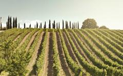 Vineyard in Tuscany, Italy