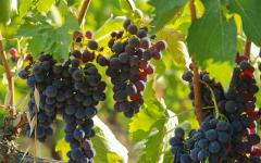 Bunches of purple grapes in an Italian vineyard