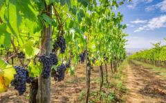 Italy - Tuscany - Grapes - Vineyard