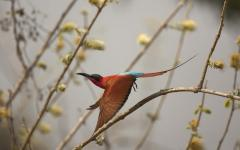 A carmine bee-eater jumping off of a branch and taking flight | Zimbabwe, Africa