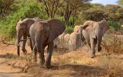Three African elephants leading their herd through the lands of Lake Manyara National Park, Tanzania, Africa