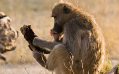 African mother baboon sitting with her baby and holding a piece of wood in the Moremi Game Reserve, Botswana