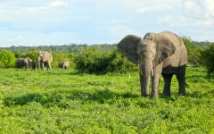 African elephant family in the lush, Botswana bush