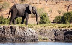 African elephant walking along the edge of a waterhole in Chobe National Park, Botswana, Africa