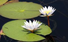 White water-lilies and lily-pads | Botswana, Africa