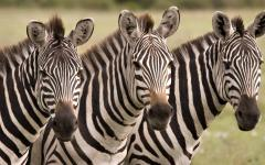 A picturesque trio of zebra lined up and looking right back at the photographer