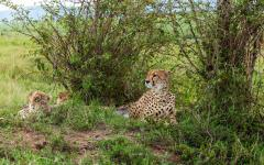 African cheetah lying down with her cubs using foliage as some protection from the sun | Kenya, Africa