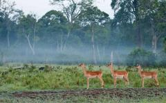 Three impalas standing in a line in a lush area of Masai Mara, Kenya, Africa