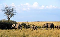 Family of African elephants walking in a line together through the Kenya, Africa plains