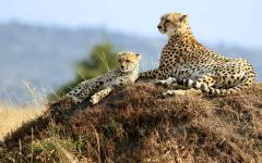 Mother cheetah lying down next to her cheetah cub on the Maasai Mara National Reserve | Kenya, Africa