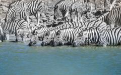Herd of zebra lining the bank of a waterhole and drinking | Namibia, Africa