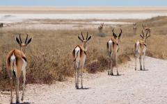 Back view of a line of impala walking along a dirt road in Etosha National Park, Namibia, Africa