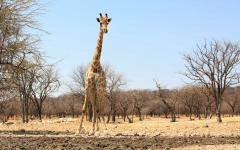 African giraffe standing in a forest of dead trees in Namibia, Africa
