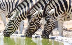 Line of African zebra drinking at a waterhole in the Ongava Private Game Reserve, Namibia, Africa