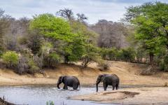 Two elephants crossing a stream in Kruger National Park