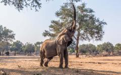 African elephant reaching high with its trunk to reach leaves on a tall branch