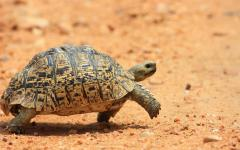 Leopard tortoise slowly trudging along on the Zambia, Africa sands