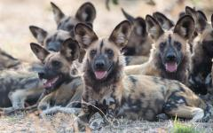 Pack of African wild dogs lying down together and resting