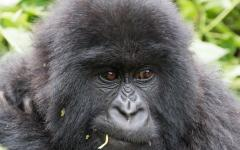 Close up of a mountain gorilla chewing on some leaves | Rwanda, Africa