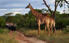 Two African giraffes standing tall in the foreground of a safari tour jeep